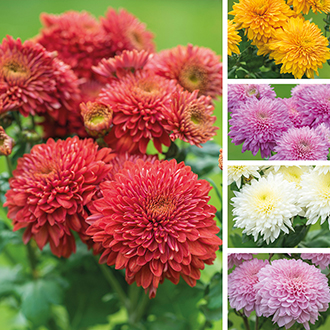 Chrysanthemum Outdoor Spray Flower Plant Collection-Gompie