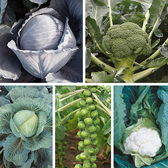 Club Root Resistant Brassica Seed Collection
