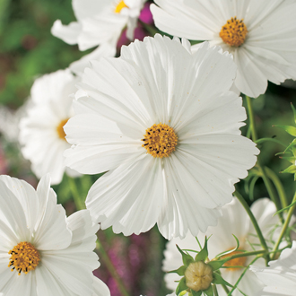 Cosmos Purity Flower Seeds