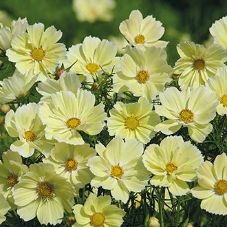 Cosmos Xanthos Flower Seeds