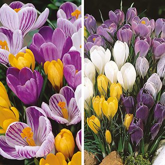 Crocus Mixed Bulbs