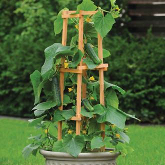 Cucumber Patio Snacker F1 Veg Plants