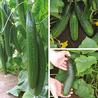 Cucumber Plant Collection