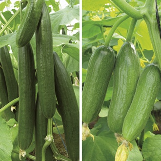 Cucumber Grafted Veg Plant Collection