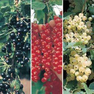 Currant Fruit Plant Collection