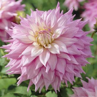 Dahlia Sir Alf Ramsey Flower Tubers