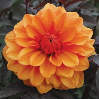 Dahlia David Howard Flower Tubers