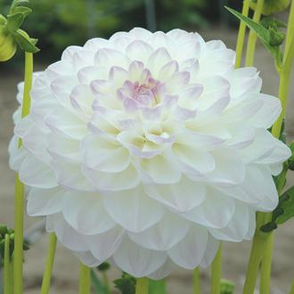 Dahlia Eveline Flower Tubers