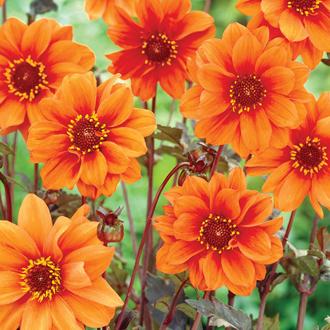 Dahlia Bishop of Oxford Flower Tubers