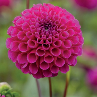 Dahlia Addison June Flower Bulbs