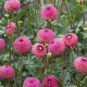 Dahlia Burlesca Flower Bulbs