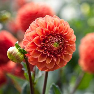 Dahlia Zundert Mystery Fox Flower Tubers