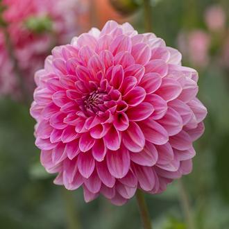 Dahlia Pink Runner Flower Tubers