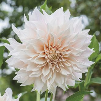Dahlia Cafe au Lait Flower Tubers