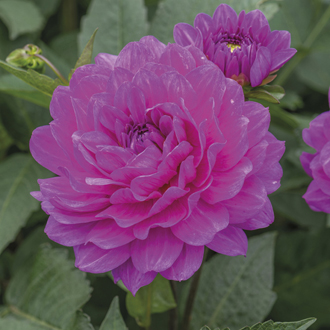 Dahlia Lagoon Flower Tubers