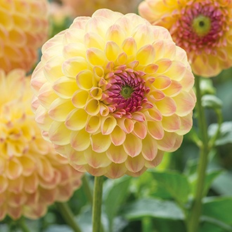 Dahlia Lakeland Autumn Potted Plant