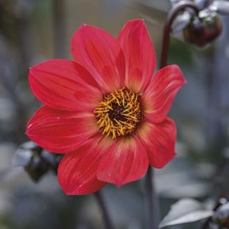 Dahlia Happy Single Flame Flower Tubers