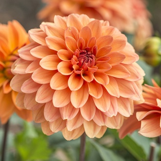 Dahlia Summer Flame Potted Plant