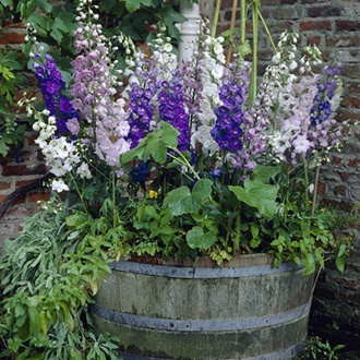Delphinium Magic Fountains Mixed F1 Flower Plants