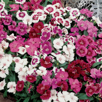 Dianthus Festival Mixed Flower Plants