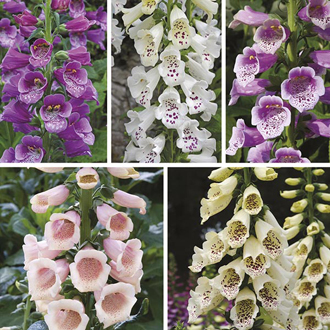 Foxglove Dalmatian Flower Plant Collection