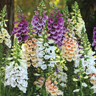Foxglove Dalmatian Mixed F1 Flower Plants