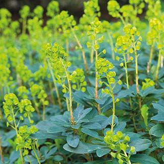 Euphorbia amygdaloides var. Robbiae AGM