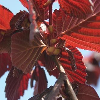 Nut Red Filbert Fruit Tree
