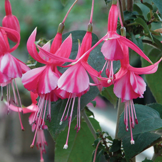 Fuchsia Shrimp Cocktail (Hardy) Flower Plants