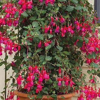 Fuchsia Pink Fizz Flower Plants