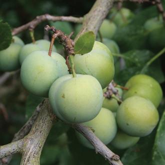 Green Gage Cambridge AGM fruit tree