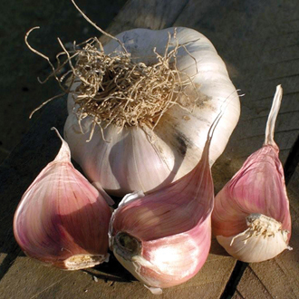 Garlic Picardy Wight Bulbs (softneck)