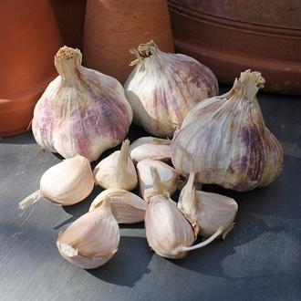 Garlic Rhapsody Wight (Softneck)