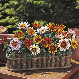 Gazania Daybreak Tiger Mixed F1 Plug Plants