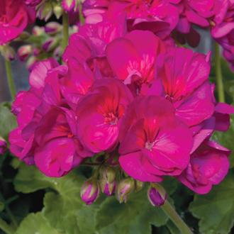Geranium Zonal Designer Purple Flower Plants