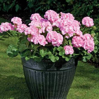Geranium Designer Light Pink (Zonal) Flower Plants