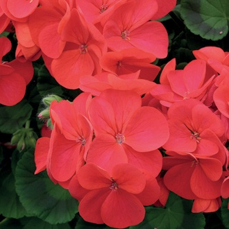 Geranium Palladium Red Plug Plants
