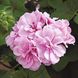 Geranium Precision Bright Lilac (Trailing) Flower Plants