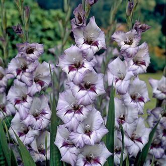 Gladiolus Vera Lynn Flower Bulbs