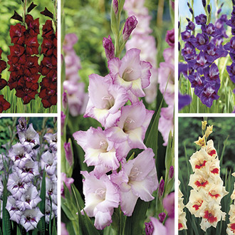Large Flowered Gladiolus Flower Bulbs Collection