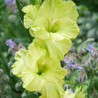 Gladioli Flower Bulb Collection