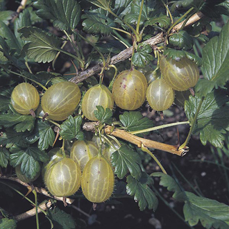 Gooseberry Invicta Fruit Plant (Early Season)