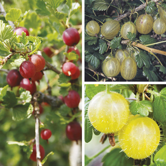Gooseberry Fruit Plant Collection