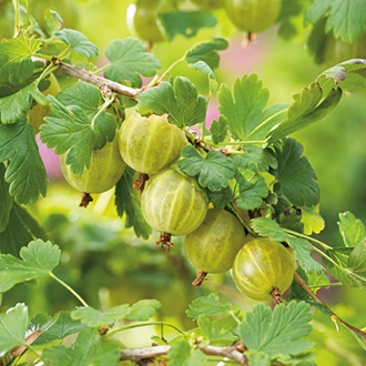 Gooseberry Hinnonmaki Yellow Fruit Plant (Late Season)