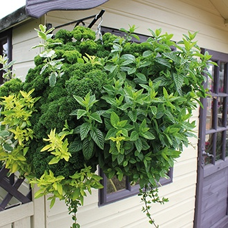 Hanging Basket Herb Plant Collection