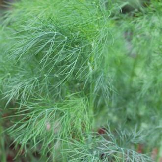 Dill Herb Plants