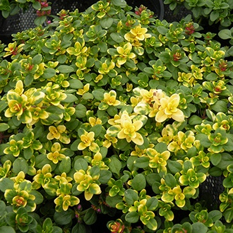 Thyme Doone Valley Herb Plants