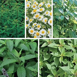 Herb Tea Plant Collection