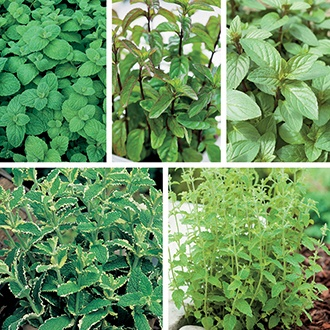 Mint Herb Plant Collection
