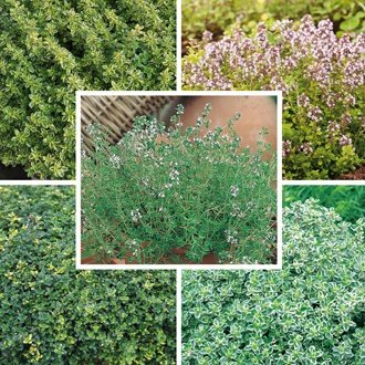 Thyme Herb Plant Collection